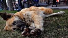 Nöroloji profesörü sokak köpeğini bıçakladı! Doktor bu ne?