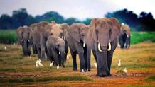 Afrika'daki fil nüfusu son on yılda yüzde yirmi Azaldı