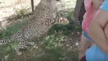 Vahşi çita genç kadının üzerine bir anda atladı ve...