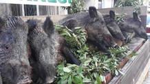 Düşman işgalinden kurtuluşu domuz vurarak kutladılar