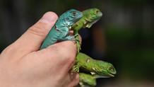 İguana yavruları ilgi odağı oldu