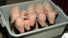 Üç yıl içinde domuz kalpleri insanlara nakledilebilir