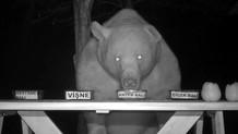 Arıcının bal testine tuttuğu ayılar, anzer balını tercih etti
