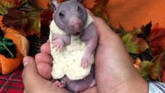 Tüysüz doğan hamster Silky için kazak örüldü