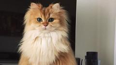 Dünyanın en fotojenik kedisi Smoothie ile tanışın!
