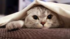 Scottish Fold cinsi kediler acı çekiyor!