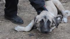 Bunu yapan insan olamaz! İşkence yaptıkları köpeği 20 metreden attılar