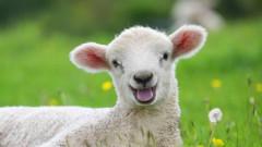 Güzellik yarışmasını kazanan kuzunun ünvanı geri alındı: Doping yapmış