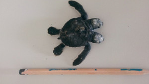 İki başlı deniz kaplumbağası bulundu