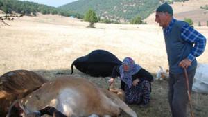 Yaşlı çift telef olan ineklerine sarılıp ağladı