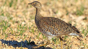 Mezgeldek ve çöl toygarı hangi hayvanın türleridir?