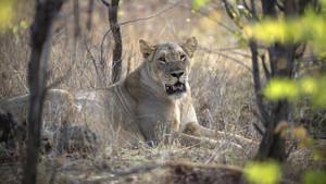 Zimbabve'de 10 yaşındaki bir kıza tuvaletini yaparken aslan saldırdı