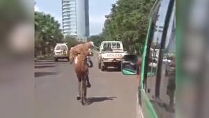 Hindistan'da kurbanlık koyunları bisikletle taşıdı!