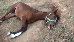 Milyonluk yarış atlarının şüpheli ölümü o şehri karıştırdı