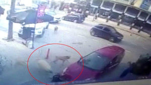 Aracın altında kalan köpeğin yardımına köpekler koştu