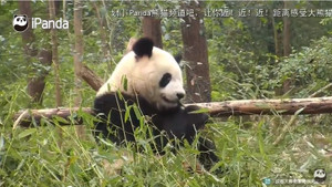 Panda araştırma merkezinden canlı yayın