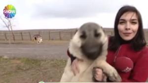 Show Haber muhabirinin dev köpekle sınavı