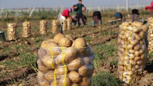Patates fiyatına yazlık hasat freni