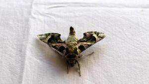 Ender rastlanan mekik kelebeği, Manavgat'ta görüldü