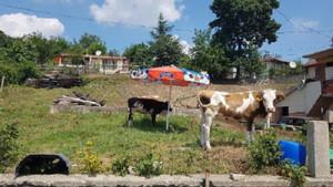 Gölcük'te şarbon karantinası! Köye hayvan giriş ve çıkışları 15 gün boyunca yasaklandı