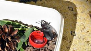 Sivas'ta ilk kezgeyik böceği bulundu