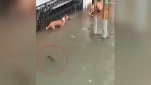 Timsah sel sularıyla şehre indi köpeğe böyle saldırdı! İşte o anlar