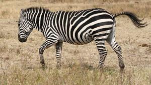 Zebra postunun gizemi çözüldü