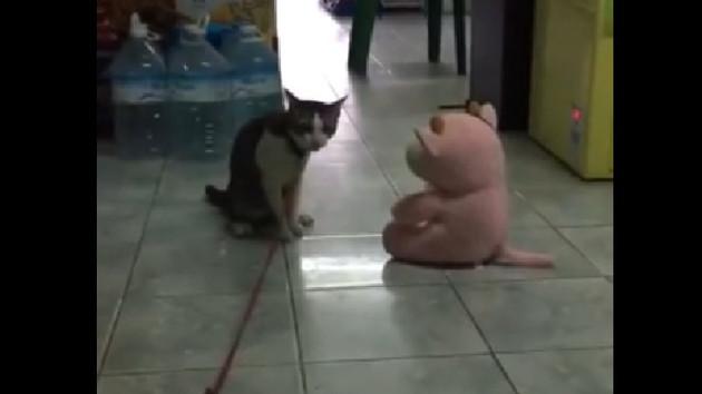 Agresif kedi oyuncak ayıya karşı