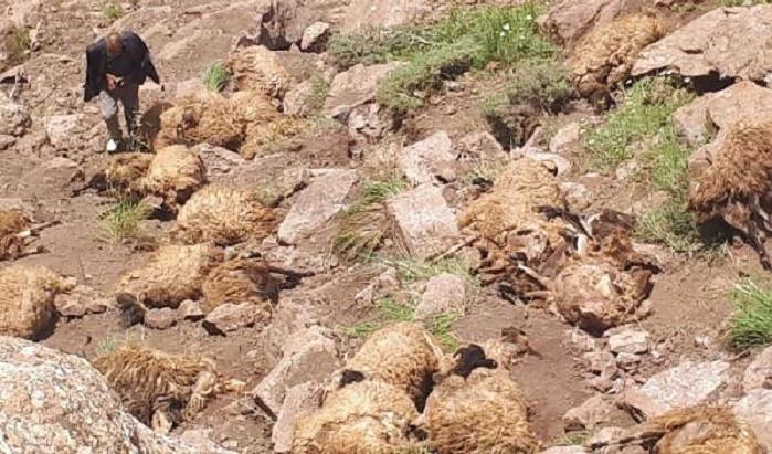 Van'da 500 koyun kendini uçurumdan aşağı attı