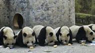 Pandalara viagra ve porno desteği! Çin'de ilginç uygulama!