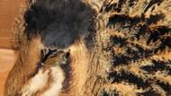 Nesli tükenmekte olan Balaban kuşu yaralı halde bulundu