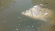 Köprüçay'da balıklar neden ölüyor ?