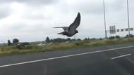 Otoyolda araçlar ile yarışan hız tutkunu güvercin!
