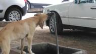 Sıcaktan bunalan köpeğin serinleme çabası