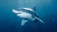 400 yaşındaki gizemli köpekbalığının uzun yaşam sırrı