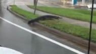 Florida'yı timsahlar bastı