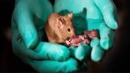 Çinli bilim adamları 2 farklı anneden, babasız ve sağlıklı fareler üretmeyi başardı