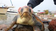 Nesli tükenmekte olan kaplumbağa Bodrum'da karaya vurdu