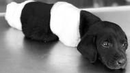 Patileri kesilen yavru köpek vahşetinde flaş gelişme!