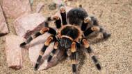 Yasak olmasına rağmen internetten tarantula satışı