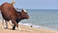 Aşırı sıcaktan bunalan ineklerin çıplaklar plajına girmesine izin çıktı