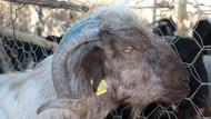 Telefonla konuşmak için dışarı çıkan adamın kafasına keçi düştü