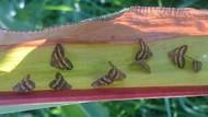 Vampir kelebekler biyolojik silah mı?
