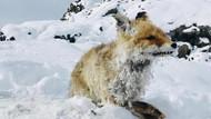 Eksi 35 derece soğukta zavallı tilki böyle dondu