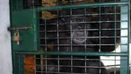 Şempanze bakıcısına saldırdı: 4 parmağını ve kolunun bir bölümünü kopardı