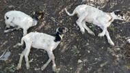 İzmir'den sonra Samsun'da da koyunlar vebalı çıktı!