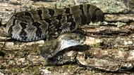 İki kafalı çıngıraklı yılan bulundu