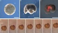 İlk kez kurbağaların kök hücrelerinden canlı robotlar üretildi