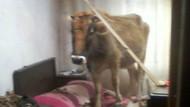 Karacabey'de çatıdan inek düştü!