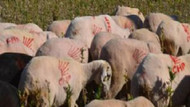 Koyunlarını CHP'li yaptı